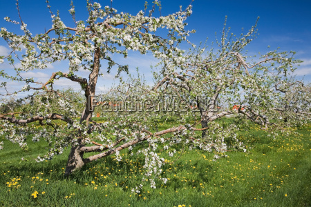 apple blossom on trees in field