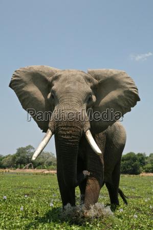 pericolo parco nazionale africa elefante zanna