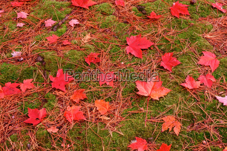 red maple leaves on the grass