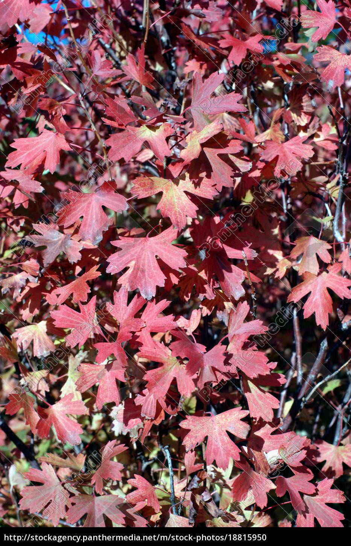 foglie, d'autunno - 18815950