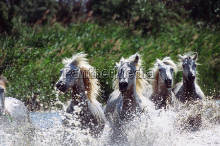 camargue horses in water