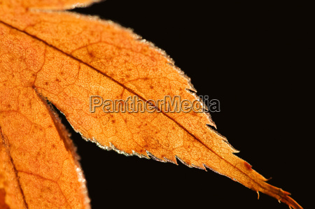 detail of a maple leaf