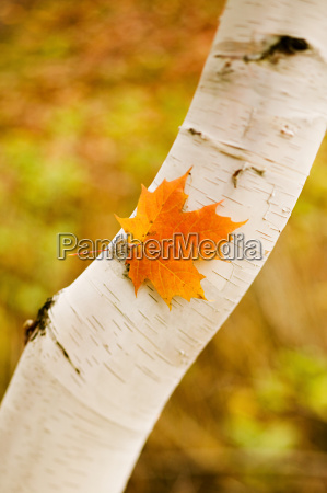 maple leaf on a white birch