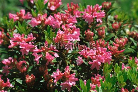 alpen rose flowers