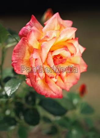sheilas perfume rose
