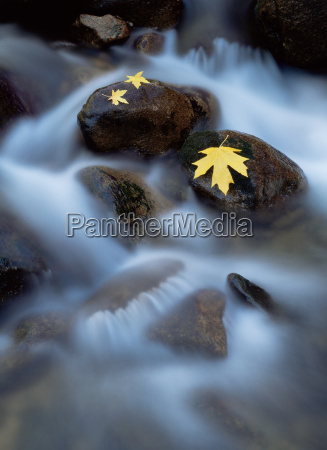 bigleaf maple leaves on rocks in