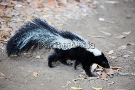 skunk a strisce mephitis mephitis
