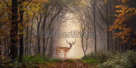 animale nebbia paesaggio natura foresta cervo