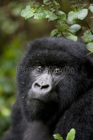 gorilla di montagna gorilla gorilla beringei