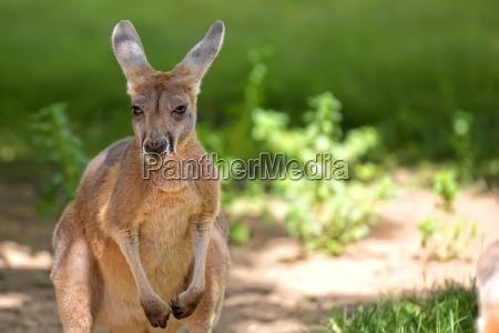 kangaroo in the wild a portrait
