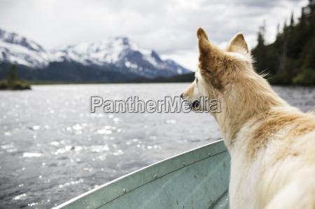 sled dog enjoying the breeze on