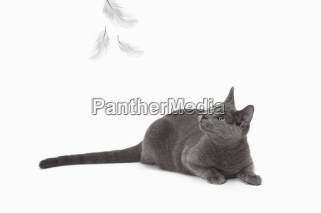 russian blue cat crouching looking up