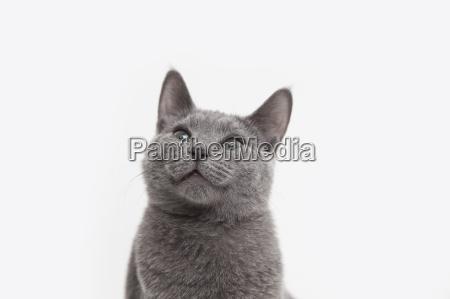 studio portrait of alert russian blue