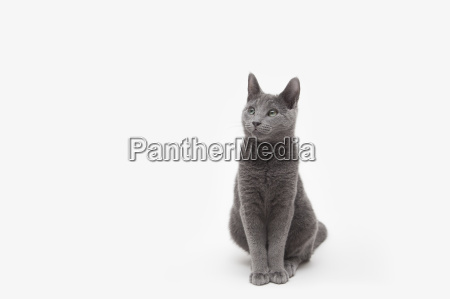 studio portrait of alert russian blue