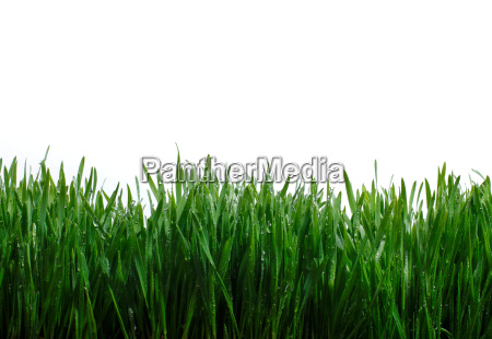 blades, of, grass, against, white, background - 19463306