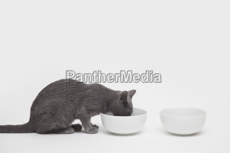 studio shot of russian blue kitten