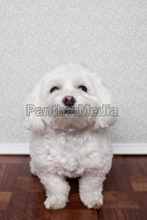 portrait of a maltese dog