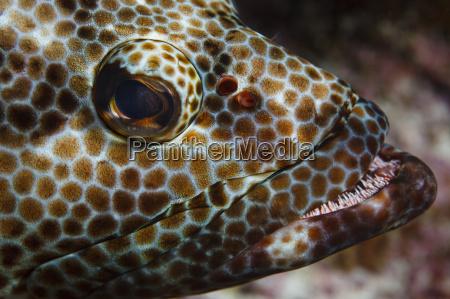 underwater close up view of epinephelus