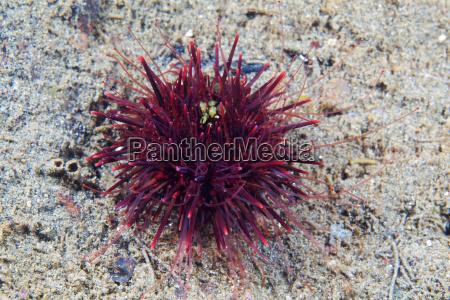 strongylocentrotus nudus sea urchin young sea