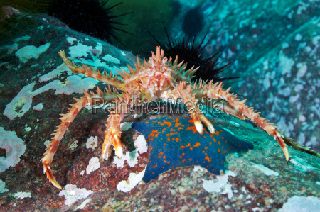 red king crab paralithodes camtschaticus and