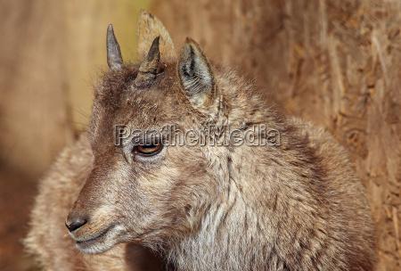 kitz di capricorn capra ibex