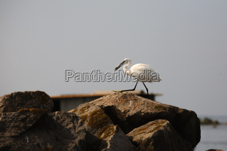 airone bianco maggiore birdwatching
