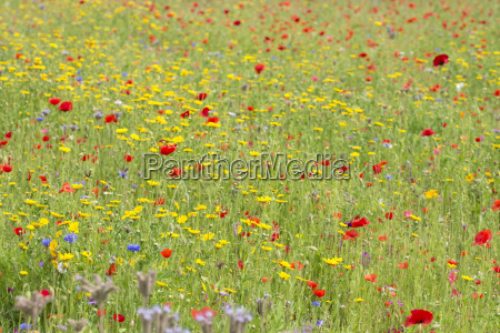 fiore pianta campo prato floreale