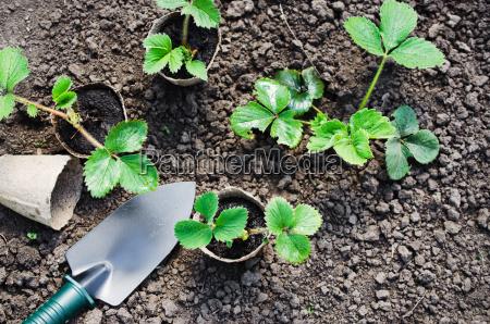 piante di fragola e piantine con