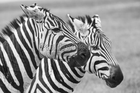 zebra nel parco nazionale africa kenia