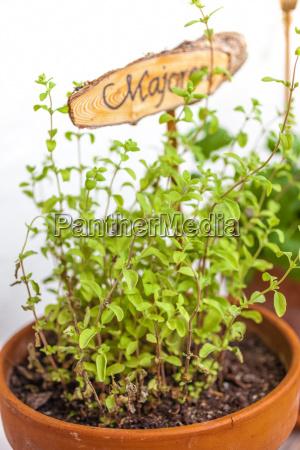 opzionale fioriera erbe aromatiche maggiorana pallido