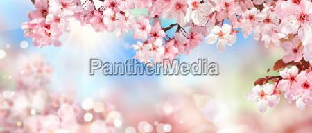natura paesaggio in primavera cherry blossom
