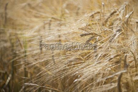 full frame close up of barley