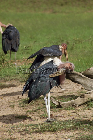 cicogne maribou riserva nazionale del masai