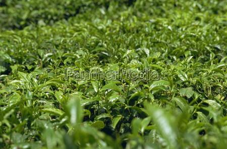 te tea viaggio viaggiare asia agricoltura
