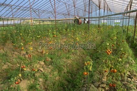 pomodori in grande serra commerciale vicino