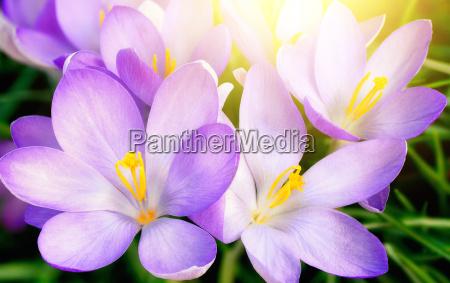 fiori di croco viola sbocciato in