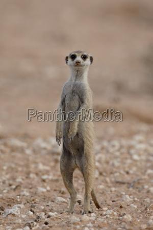 meerkat suricato suricata suricatta in piedi