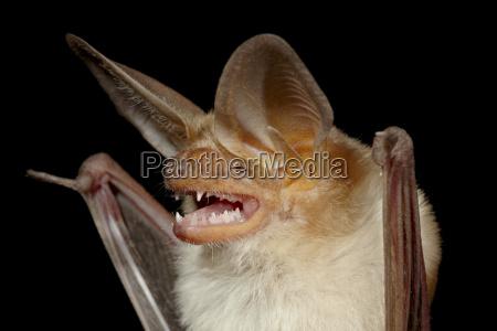 pallido pipistrello antrozous pallidus in cattivita