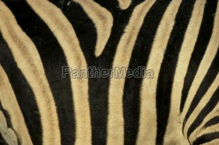 close up di zebra skin sudafrica