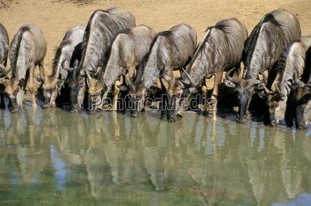 viaggio viaggiare bere animale africa ritratto