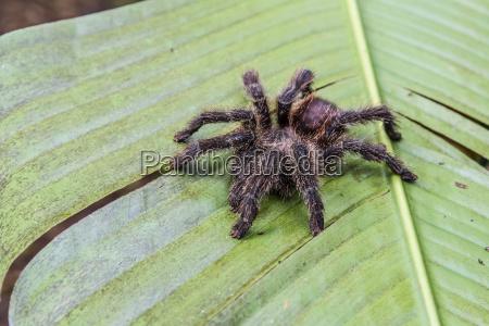una tarantola peruviana catturata theraphosidae spp