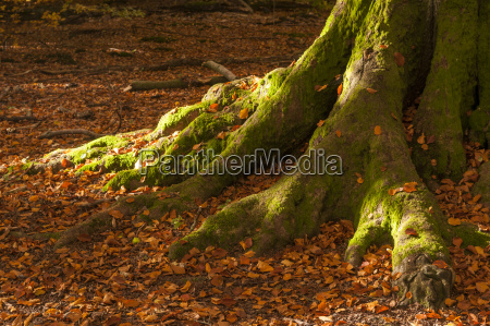 germany hesse mossy trunk of old