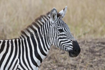 africa kenya riserva nazionale del masai