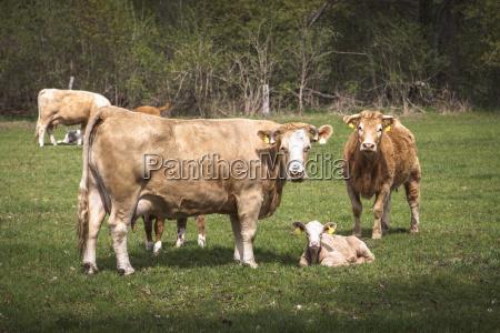 germania mucche e vitelli su un