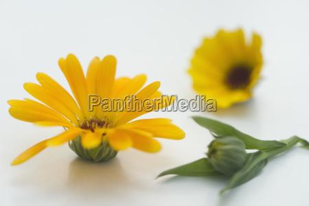 pot marigold calendula officinalis impianto medico