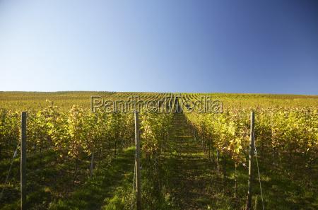 germany baden wuerttemberg vineyards at batzenberg