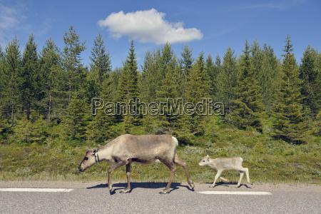 svezia arvidjaur madre della renna con