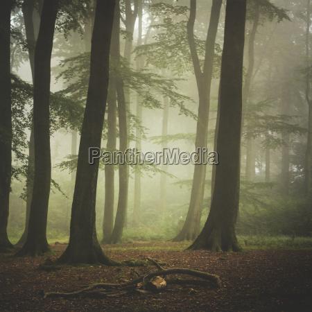 faggio foresta a nebbiosa mattina destate