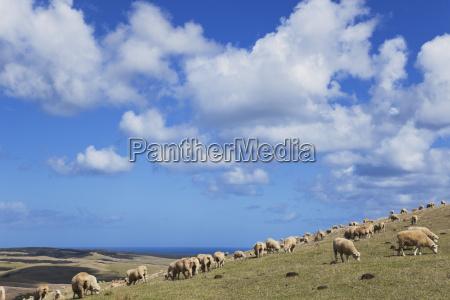 neozelandese northland cape reinga pecora su
