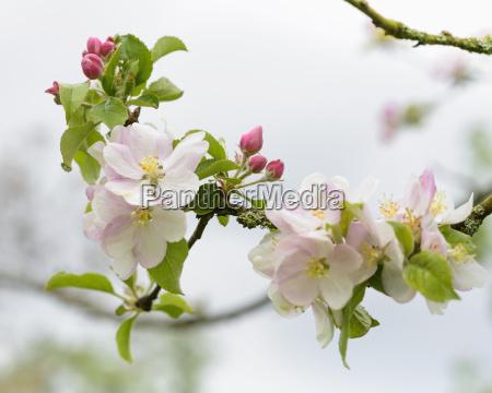 albero fiore pianta freschezza melo allaperto